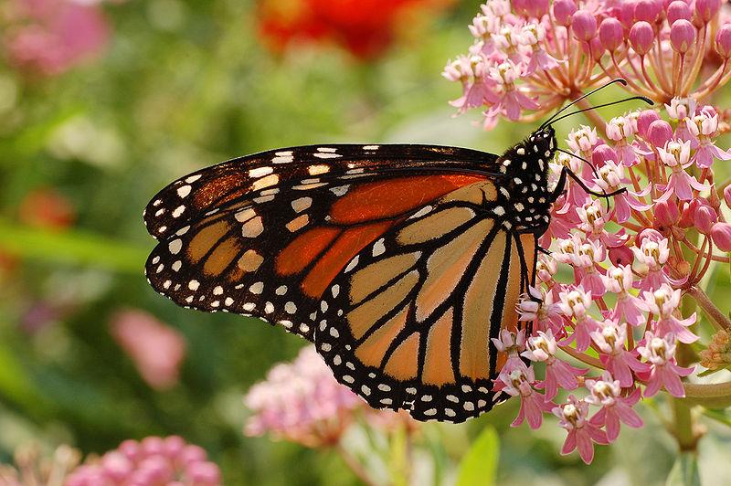 File:Monarch Butterfly Danaus plexippus Milkweed.jpg
