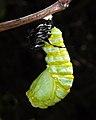 Monarch Transition to Chrysalis (5612758894).jpg