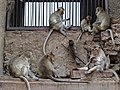 Monkeys at Prang Sam Yot (Monkey Temple) - Lop Buri - Thailand - 04 (34896511431).jpg