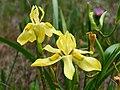 Moraea papilionacea (4).jpg