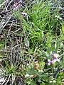 Moricandia arvensis Habitus 2010-3-14 DehesaBoyaldePuertollano.jpg