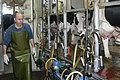 Moshe Yaalon milking cows.jpg