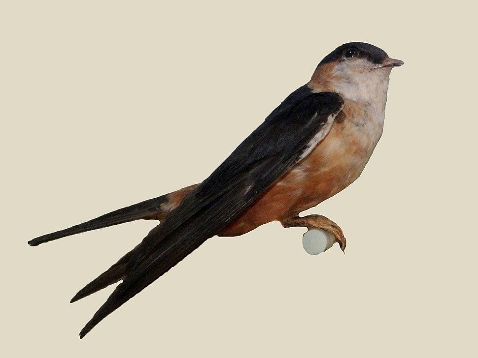Mosque Swallow specimen RWD