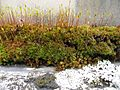 Moss Calyptrae - Flickr - brewbooks.jpg