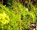 Moss in springtime (5668775543).jpg