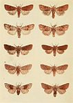 Moths of the British Isles Plate157.jpg