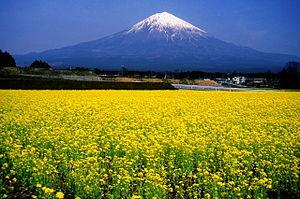 Broccolini - Broccolini blossoms near Mt Fuji
