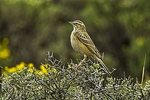 Mountain Pipit - Natal - South Africa S4E7209 (16378615434).jpg