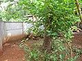 Mulberry - മൾബറി 07.JPG