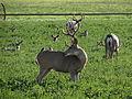 Mule Deer, Washoe Valley, Nevada (21342751285).jpg