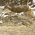 Mule Deer jumping.jpg