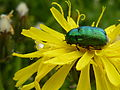 Mulfingen grüner Käfer 1.jpg