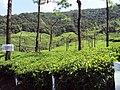 Munnar Tea - panoramio (1).jpg