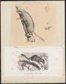 Muscardinus elegans - 1700-1880 - Print - Iconographia Zoologica - Special Collections University of Amsterdam - UBA01 IZ20400165.tif