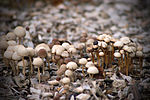 File:Mushrooms (2967011908).jpg