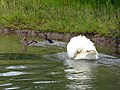 Mute Swan attacking Mallard Family (7617026562).jpg
