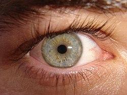 Äußerlich sichtbare Teile eines menschlichen Auges (rechtes)