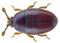 Mychocerus astrolabei (Heinze, 1944) (29978752970).png