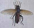 Mydas coerulescens.jpg