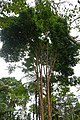 Myrciaria cauliflora à São Tomé (1).jpg