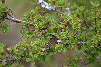 Myrothamnus flabellifolius04