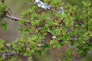 Myrothamnus flabellifolius - Image: Myrothamnus flabellifolius 04
