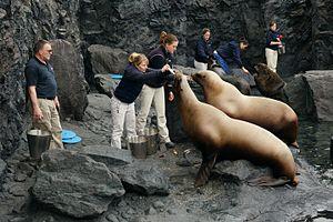 Mystic Aquarium & Institute for Exploration - Staff feeding Pinnipeds (sea lions) at the Pacific Northwest portion of the aquarium