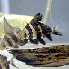 Myxocyprinus asiaticus by OpenCage.jpg