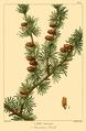 NAS-153c Larix laricina.png