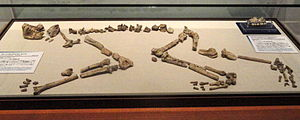 Nacholapithecus - Nacholapithecus kerioi