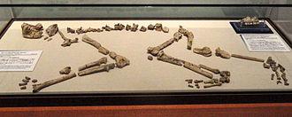 Nacholapithecus - Nacholapithecus kerioi at the Kyoto University Museum