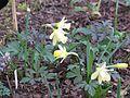 Narcissus Gipsey Queen - Flickr - peganum.jpg