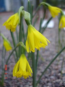 Narcissus astruliensis1a.UME.jpg