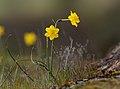 Narcissus jonquilla, Parque natural de la Sierra de Andújar, España (33022456070).jpg