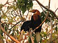 Narcondam Hornbill DSCN1242 07.jpg