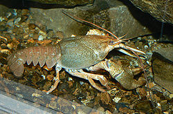 Narrow clawed crayfish.jpg