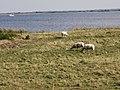 Nationalpark Vorpommersche Boddenlandschaft in Hiddensee 05.jpg