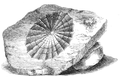Natural History - Mollusca - Limpet.png