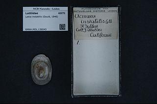 <i>Lottia instabilis</i> Species of mollusc