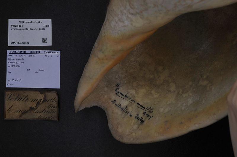File:Naturalis Biodiversity Center - ZMA.MOLL.226591 - Livonia mammilla (Sowerby, 1844) - Volutidae - Mollusc shell.jpeg