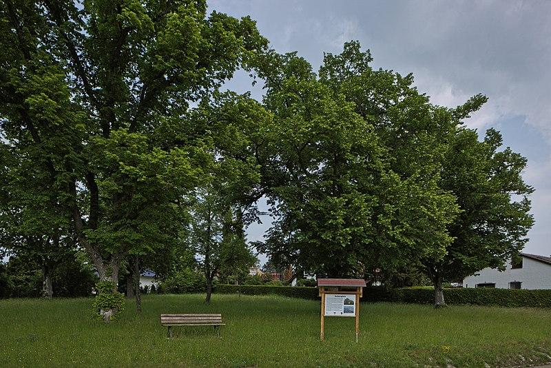 File:Naturdenkmal Linden am Sedanplatz, Kennung 82350290001, Gechingen-Bergwald 02.jpg