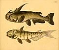 Naturgeschichte in Bildern mit erläuterndem Text (Taf. CXVI) (6059226148).jpg