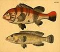 Naturgeschichte in Bildern mit erläuterndem Text (Taf. LXXXIV) (6059219292).jpg