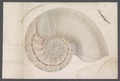 Nautilus pompilius - - Print - Iconographia Zoologica - Special Collections University of Amsterdam - UBAINV0274 091 03 0011.tif