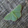 Nemoria species - Flickr - gailhampshire.jpg