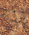 Neopsephotus bourkii henbury2 - Christopher Watson.jpg