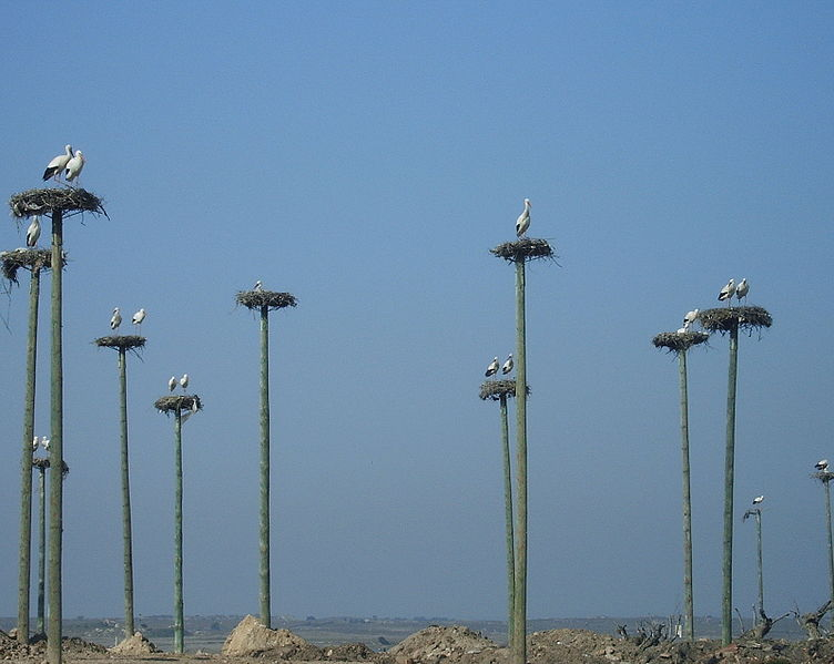 File:Nesting poles for storks provided by Caceres municipality.jpg