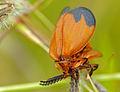 Net-winged Beetles (Lycus sp.) mating (12749134344).jpg
