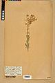 Neuchâtel Herbarium - Aurinia saxatilis - NEU000022633.jpg