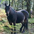 New Forest Pony1.jpg